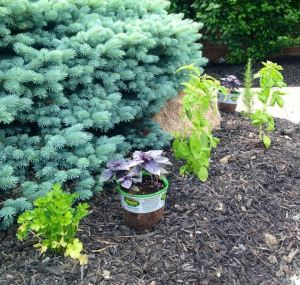 Italian parsley, purple and Italian basil, and rosemary.