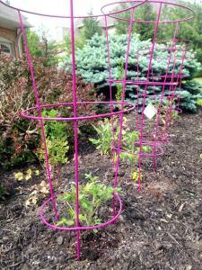 Here are some of the tomato plants plus the cilantro.