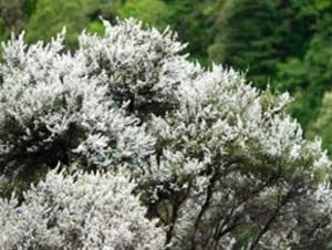 Picture of Manuka bush!