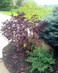 These were my herbs at their peak last summer!